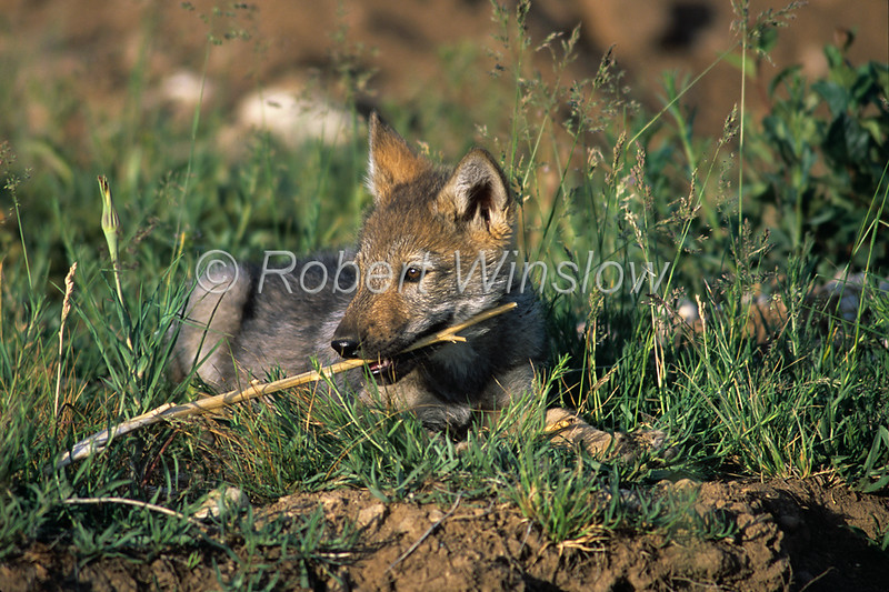 Young Gray Wolf Pup Chewing on a stick, Canis lupus, Controlled Conditions