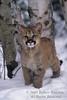 Mountain Lion Kitten, Felis concolor, Winter, Snow, controlled conditions