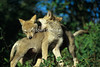 Two Young Gray Wolf Pups, Canis lupus, Controlled Conditions