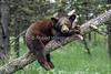 Black Bear Cub, Ursus americanus, Controlled Conditions, Montana, USA, North America