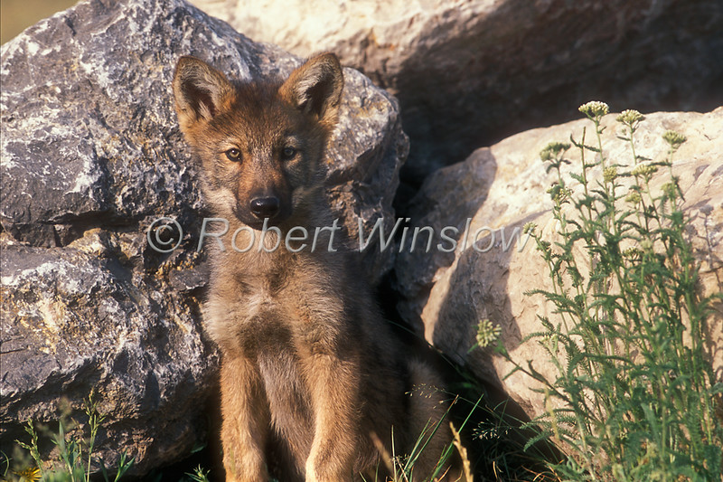 Young Gray Wolf Pup, Canis lupus, Controlled Conditions