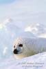 Harp Seal Pup (Pagophilus groenlandicus) formerly known as (Phoca groenlandica), on Pack Ice, Gulf of St. Lawrence, Eastern Canada, Quebec