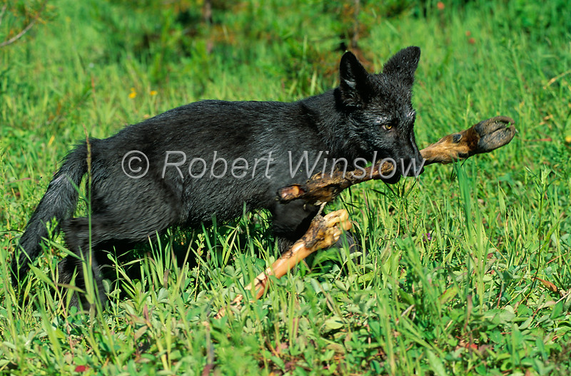 Young Gray Wolf Pup with a leg bone in its mounth, Canis lupus, Controlled Conditions