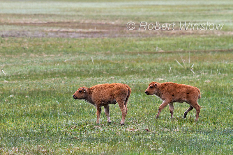 Two Baby Bison or American Buffalo, Bison bison, Yellowstone National Park, Wyoming, United States, North America