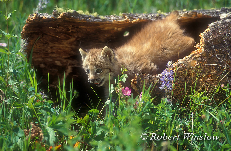 Kitten, Lynx also called Canadian Lynx, Lynx canadensis, controlled conditions