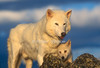 Arctic Gray Wolf, Canis lupus arctos, Adult and Pup, Controlled Conditons