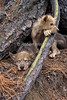 Two Young Gray Wolf Pups Resting, Canis lupus, Controlled Conditions