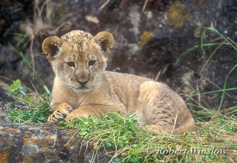 African Lion cub (Panthera leo), controlled conditions