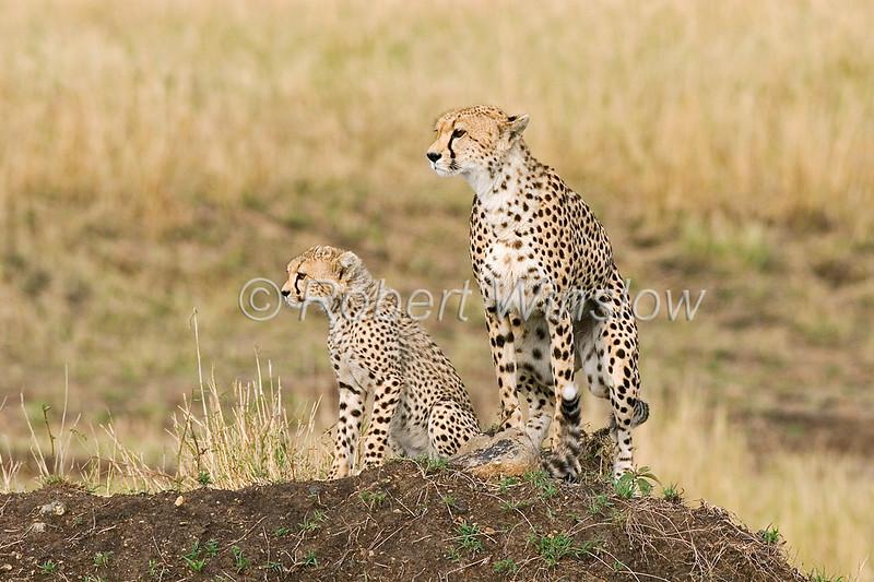 Mother and Baby Cheetah, Acinonyx jubatus, Masai Mara National Reserve, Kenya, Africa