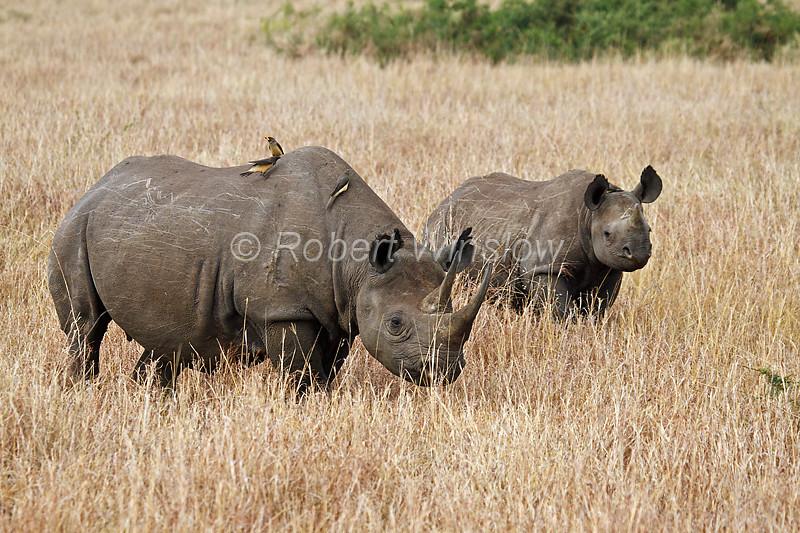 Mother and Baby Black Rhinoceros, Diceros bicornis, Masai Mara National Reserve, Kenya, Africa