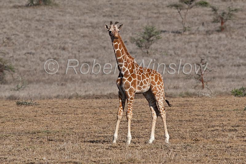 Young Reticulated Giraffe, Giraffe camelopardalis reticulata, Lewa Wildlife Conservancy, Kenya, Africa, Artiodactyla Order, Giraffidae Family