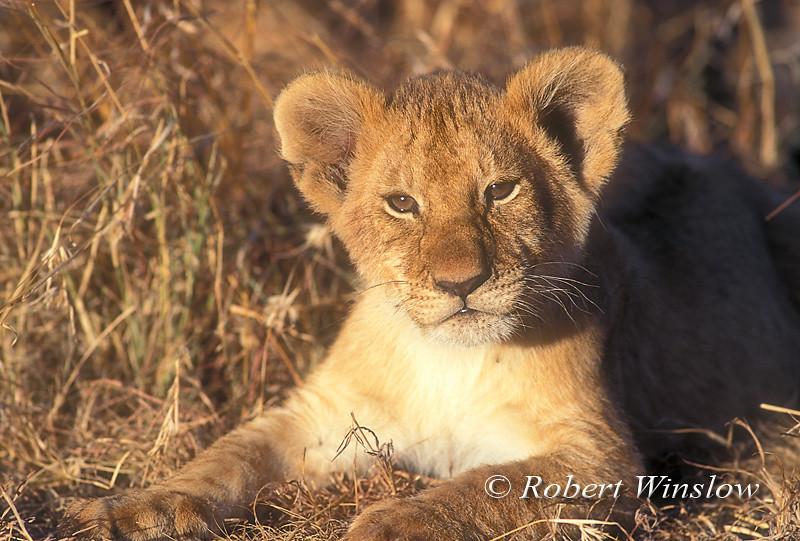 African Lion Cub, Panthera leo, Masai Mara, National Reserve, Kenya, Africa