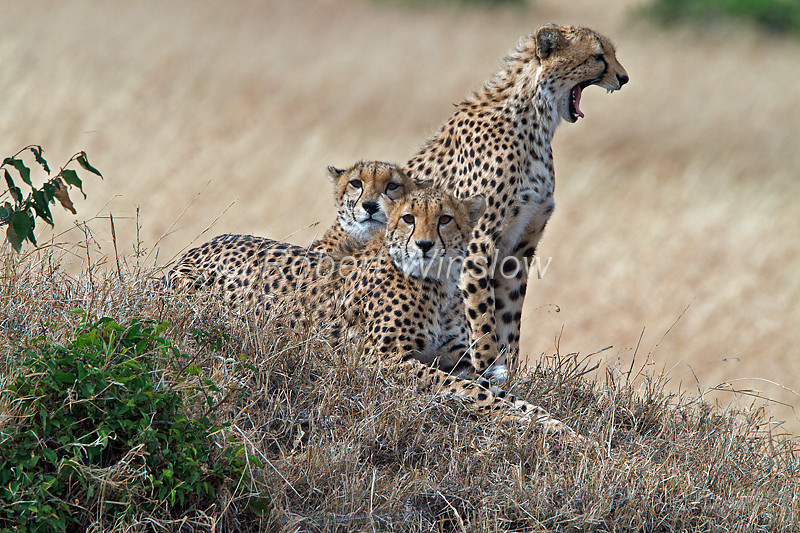 Cheetah Mother (center) with two juvenile , Acinonyx jubatus, Masai Mara National Reserve, Kenya, Carnivora Order, Felidae Family
