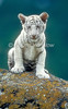 White Tiger Cub, Panthera tigris tigris, controlled conditions