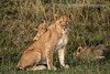 African Lion Pride with Cubs Panthera Leo, Masai Mara National Reserve, Kenya, Africa