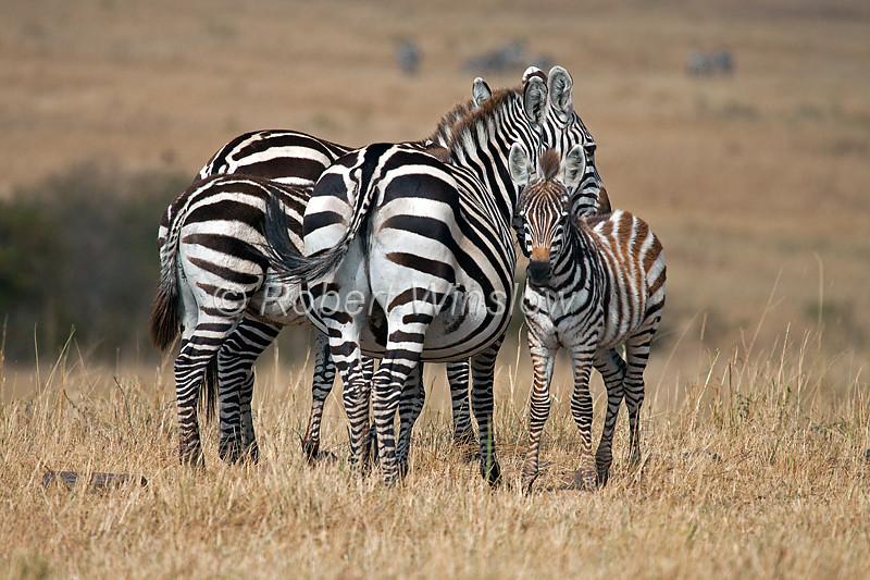 Plains Zebra, Equus quagga, Red Oat Grass, Masai Mara National Reserve, Kenya, Africa