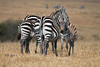 Plains Zebra, Equus quagga, Red Oat Grass, Masai Mara National Reserve, Kenya, Africa