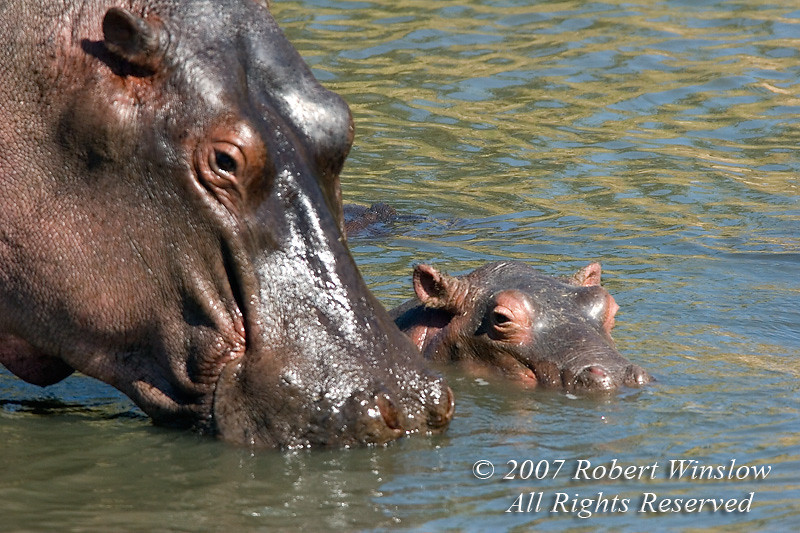 Baby Hippopotamus, Hippopotamus amphibius, Mara River, Masai Mara National Reserve, Kenya, Africa