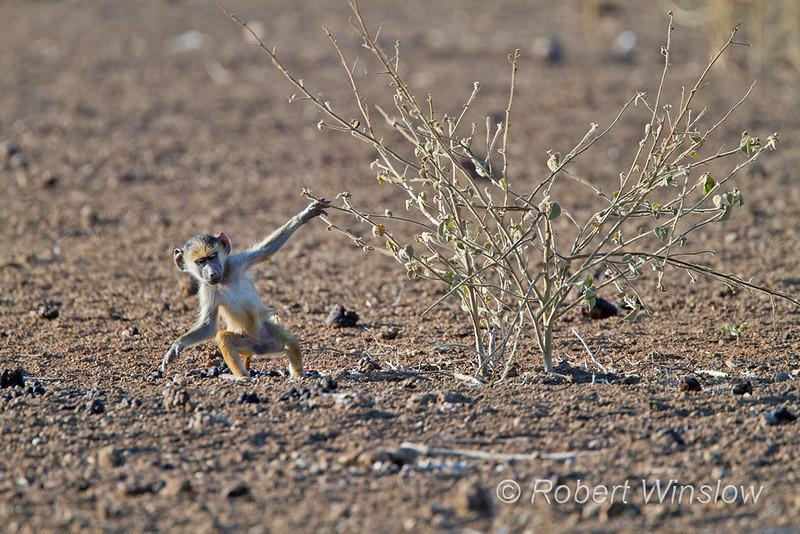 Baby Yellow Baboon, Papio c. cynocephalus, Tsavo East National Park, Kenya, Africa