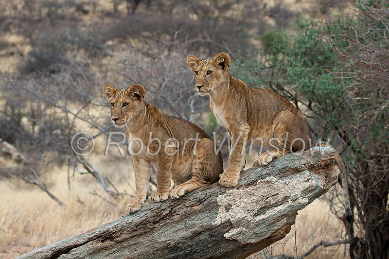 Two African Lion Cubs, Panthera leo, Samburu National Reserve, Kenya, Africa