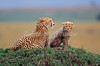 Mother and Baby Cheetahs, Acinonyx jubatus, Masai Mara National Reserve, Kenya, Africa