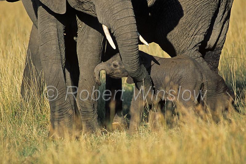 African Elephants, Loxodonta africana, Mother with Baby Less than one hour old, Masai Mara National Reserve, Kenya, Africa,  Proboscidea Order, Elephantidae Family