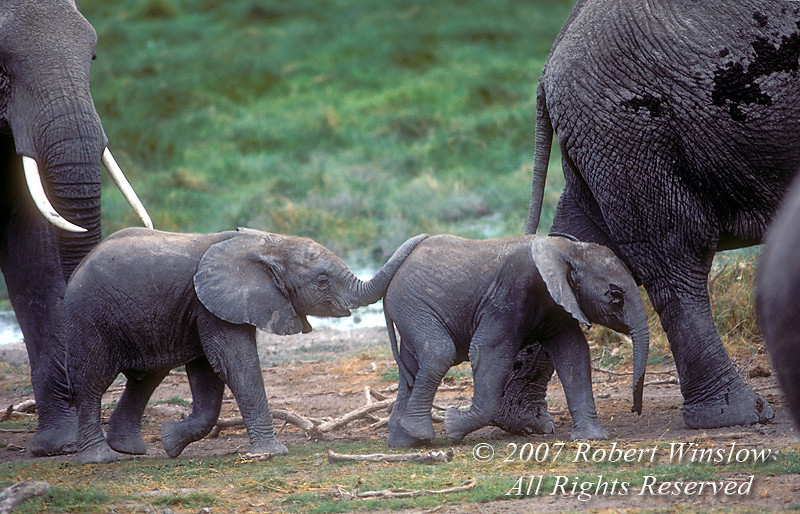 Adult and Baby Elephants (Loxodonta africana), Amboseli National Park, Kenya