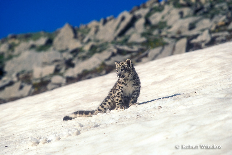 Baby Snow Leopard on Snow Field (Panthera uncia), Controlled Conditions