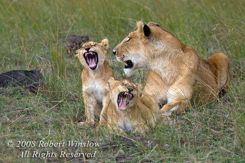 African Lions 0116 (1)W8C