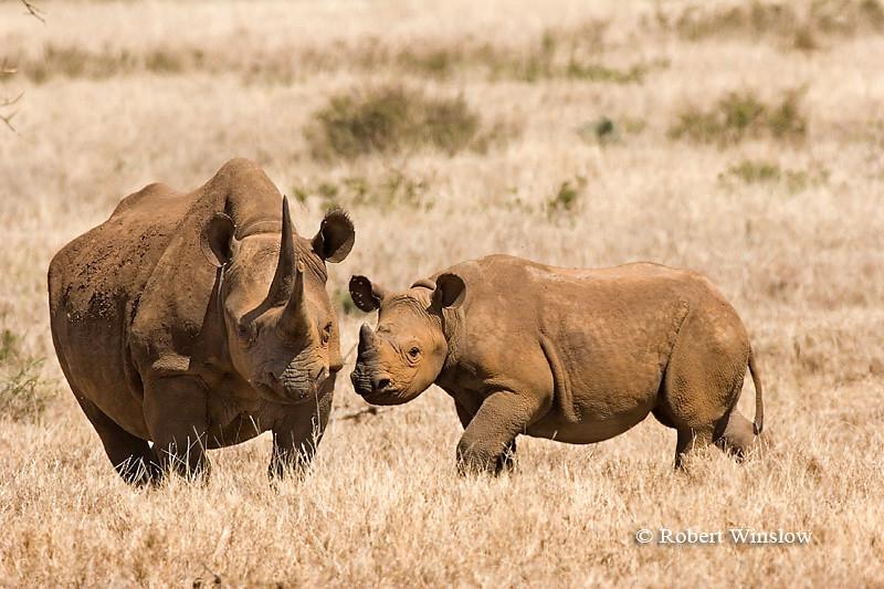 Black Rhinocerous (Diceros bicornis) Mother and Calf, Lewa Wildlife Conservancy, Kenya, Africa