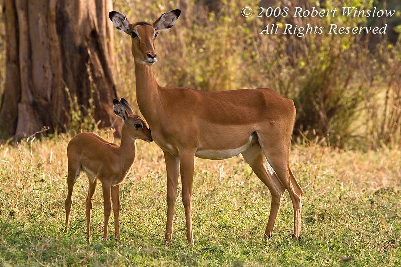 Mother and Baby Impala (Aepyceros melampus), Samburu National Reserve, Kenya, Africa, Artiodactyla Order, Bovidae Family