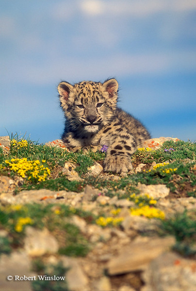 Eleven Week Old Snow Leopard Kitten (Panthera uncia), Controlled Conditions