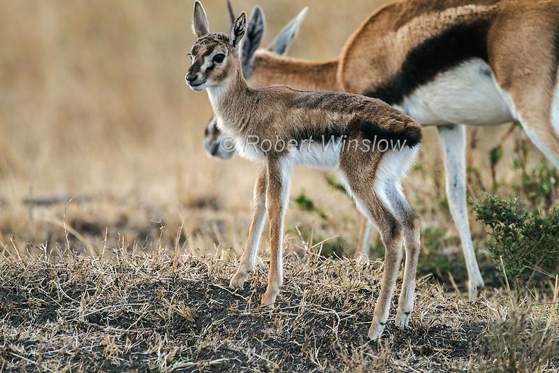 Baby Thomson's gazelle, Eudorcas thomsonii, Masai Mara National Reserve, Kenya, Africa