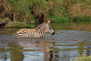 Baby Plains Zebra, Equus burchellii, Crossing a Stream, Lake Nakuru National Park, Kenya, Africa