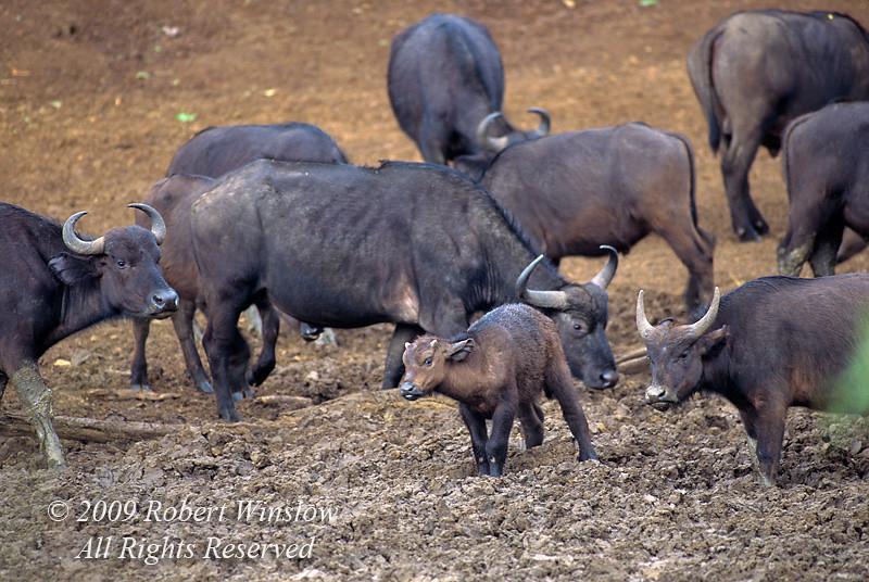 African Buffalo or Cape Buffalo, Syncerus caffer, Mountain Lodge, Mt. Kenya National Park, Kenya, Africa