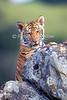 14-Week Old Tiger Cub, Panthera tigris tigris, controlled conditions