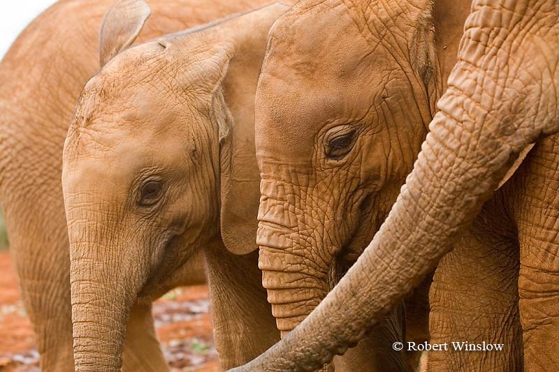 Baby African Elephants (Loxodonta africana), Daphne Sheldrick Animal Orphanage, Nairobi, Kenya, Africa