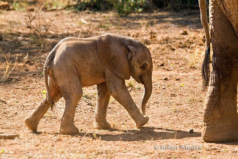 Baby African Elephant Walking behind its Mother (Loxodonta africana), Samburu National Reserve, Kenya, Africa