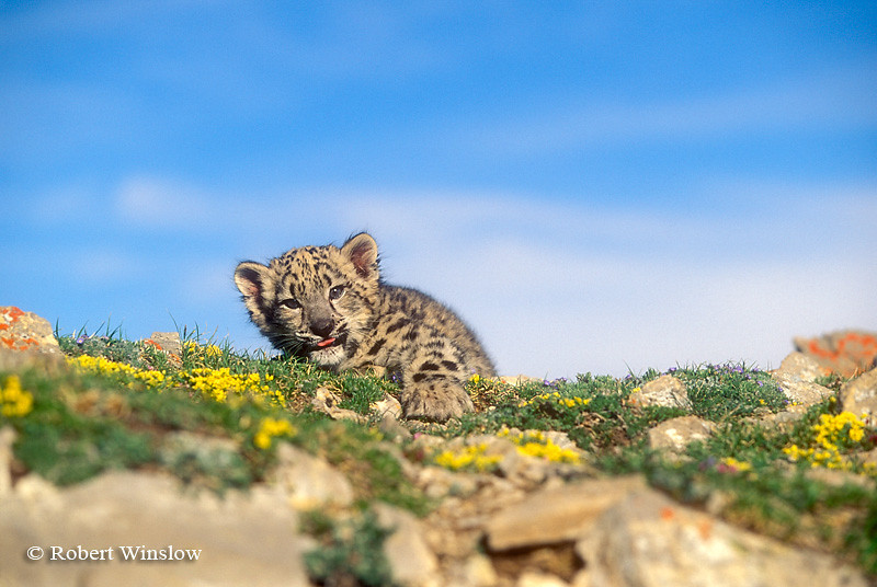 Baby Snow Leopard Eleven Weeks Old (Panthera uncia), Controlled Conditions