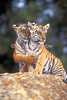 Two Bengal Tiger Cubs, Pantera tigris tigris, controlled conditions