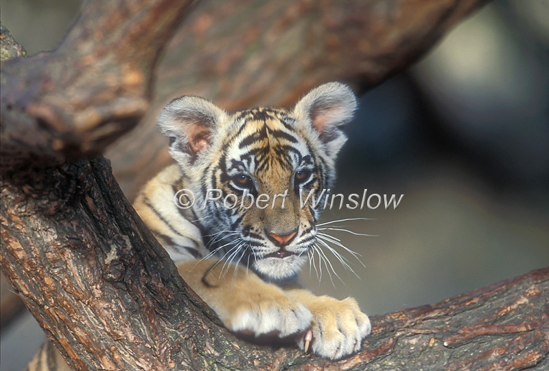 Tiger Cub, Pantera tigris tigris, controlled conditions