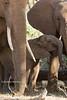Baby African Elephant (Loxodonta africana), Samburu National Reserve, Kenya, Africa