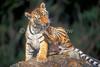 Tiger Cub, Pantera tigris tigris, controlled conditions
