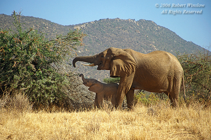 Mother and Baby Elephants, Samburu National Reserve, Kenya