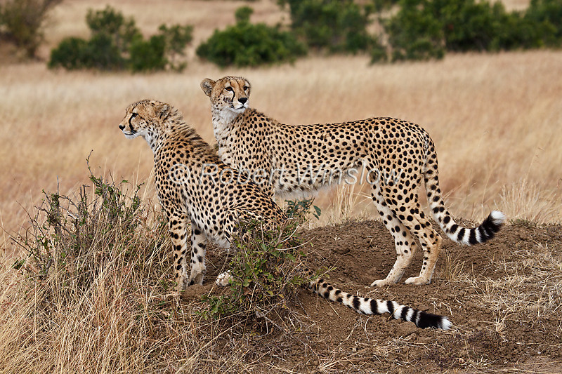 Cheetah Mother on right with Juvenile, Acinonyx jubatus, Masai Mara National Reserve, Kenya, Carnivora Order, Felidae Family