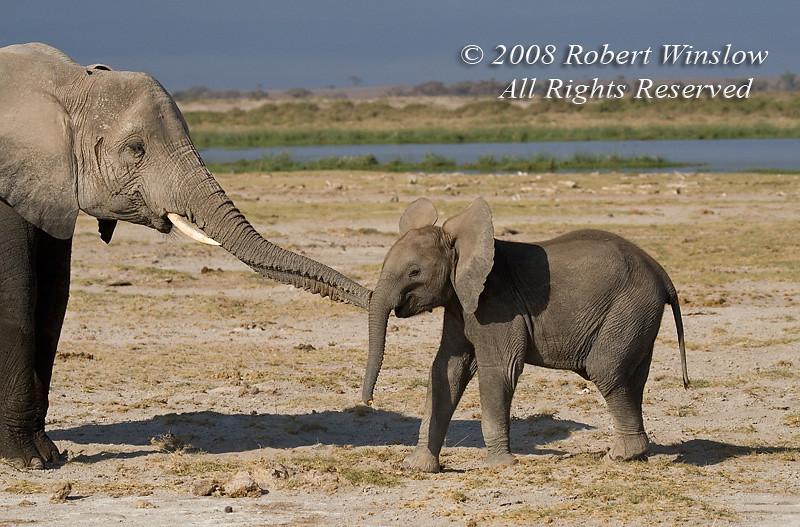 Baby African Elephant, Loxodonta africana, Amboseli National Park, Kenya, Africa, Porboscidea Order, Elephantidae Family