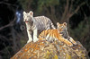 Two Bengal Tiger Cubs, Pantera tigris tigris, one white, one orange controlled conditions