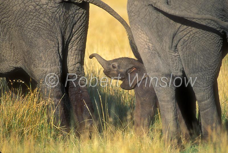 African Elephant, Loxodonta africana, Mother with Baby Less than one hour old, Masai Mara National Reserve, Kenya, Africa,  Proboscidea Order, Elephantidae Family