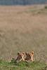 African Lion Cubs, Panthera leo, Masai Mara National Reserve, Kenya, Africa
