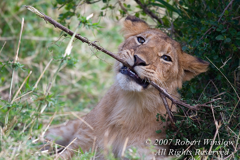 African Lion Cub Playing with a Stick, Panthera leo, Masai Mara National Reserve, Kenya, Africa